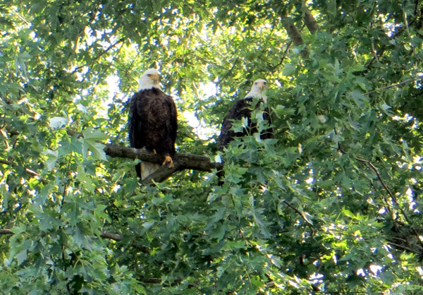 two eagles hanging out by Rock River