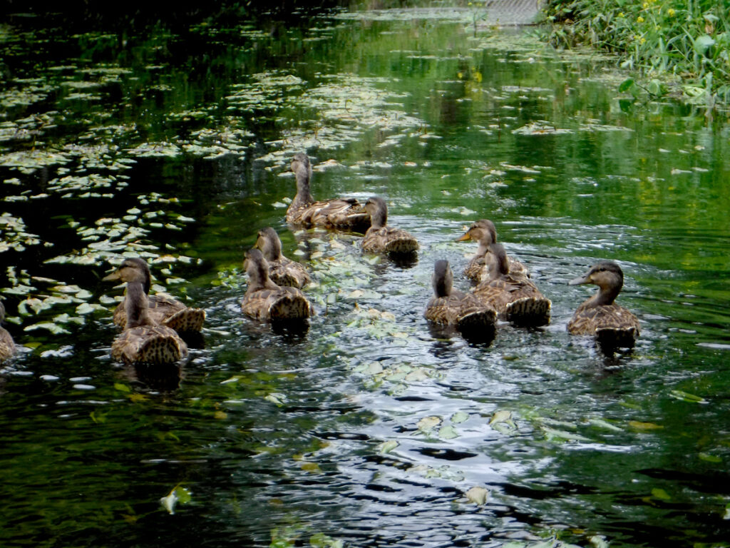 Duck family - Starkweather Creek